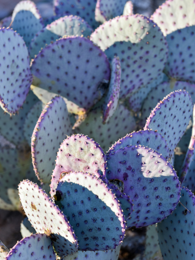 cacti with purple tint