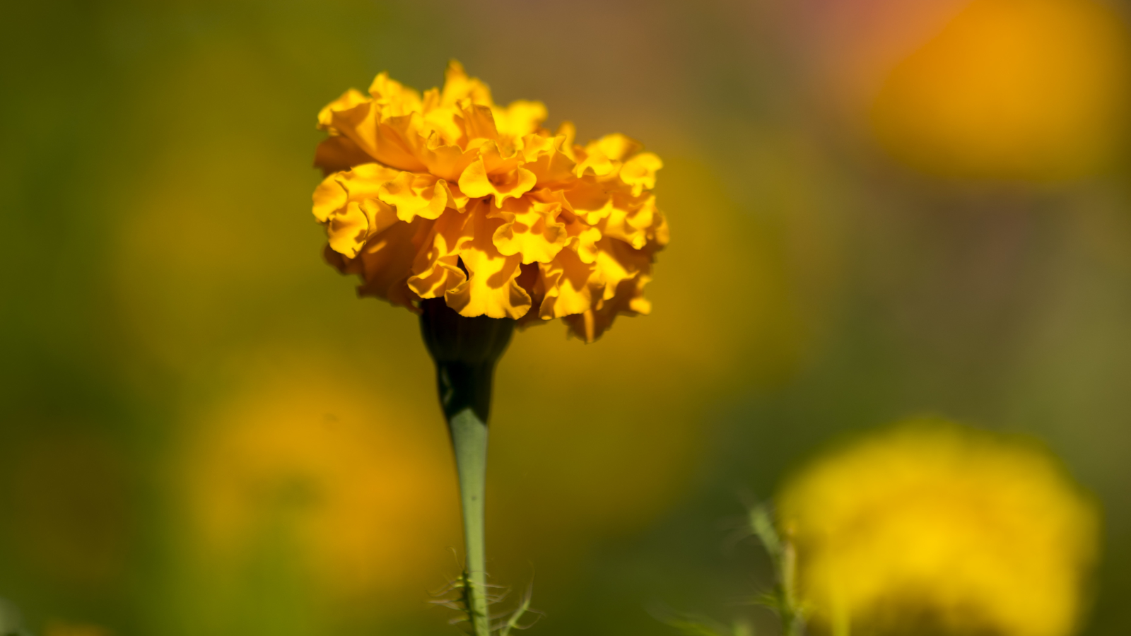 close up of a yellow flower among a bed of flowers