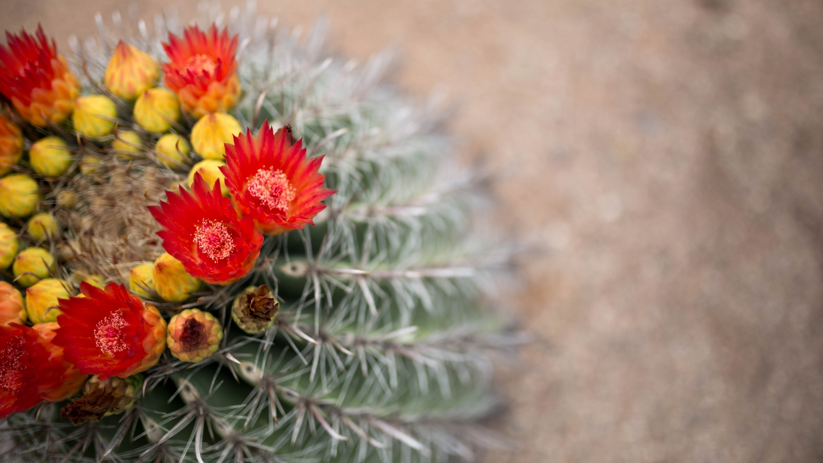 cactus with a crown of red and yellow flowers