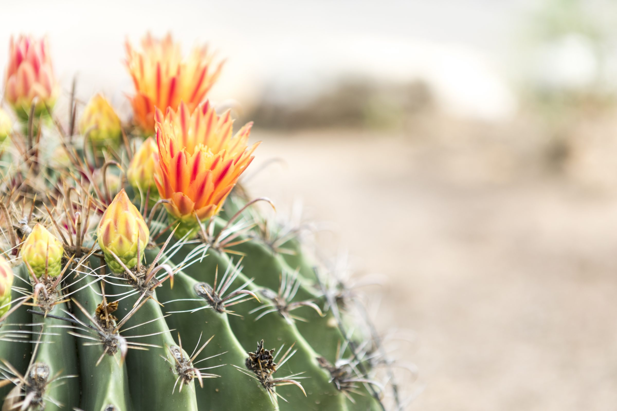 Cactus blooming on the grounds of Miraval Arizona.