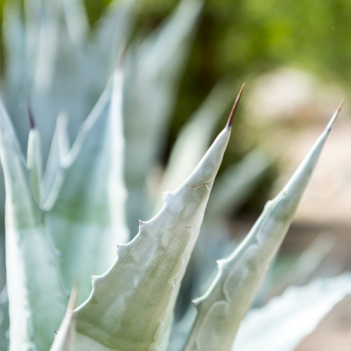 Close up of agave plant on the grounds at Miraval Arizona.