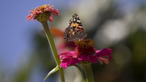 orange & black butterfly resting on a pink flower